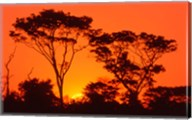Trees Silhouetted by Dramatic Sunset, South Africa Fine-Art Print