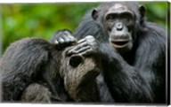 Uganda, Kibale Forest Reserve, Chimpanzee, primate Fine-Art Print