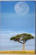 Umbrella Thorn Acacia, Kenya Fine-Art Print
