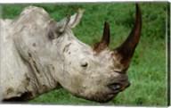 Head of a White Rhinoceros, Lake Nakuru National Park, Kenya Fine-Art Print