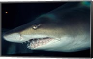 Head of a Great White Shark, South Africa Fine-Art Print