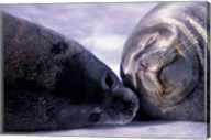 Weddell Fur Seal Cow and Pup, Antarctica Fine-Art Print