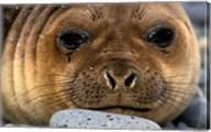 Weddell Seal, South Georgia Island, Sub-Antarctica Fine-Art Print