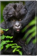 Umubano Group Of Mountain Gorillas, Volcanoes National Park, Rwanda Fine-Art Print