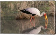 Yellow-Billed Stork, Kwara, Botswana Fine-Art Print