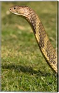King Cobra snake, South East Captive Fine-Art Print