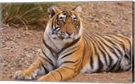 Portrait of Royal Bengal Tiger, Ranthambhor National Park, India Fine-Art Print