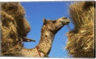 Camel Carrying Straw, Pushkar, Rajasthan, India Fine-Art Print
