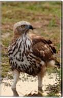 Changeable Hawk Eagle, Corbett National Park, India Fine-Art Print