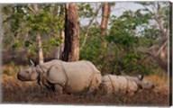 One-horned Rhinoceros and young, Kaziranga National Park, India Fine-Art Print