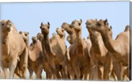 Camels in the desert, Pushkar, Rajasthan, India Fine-Art Print