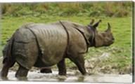 One-horned Rhinoceros, coming out of jungle pond, Kaziranga NP, India Fine-Art Print