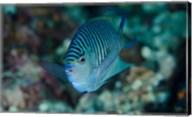 Bay Close-up of angelfish Fine-Art Print