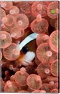 Clark's anemonefish Fine-Art Print