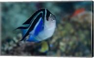 Bay Frontal view of angel fish Fine-Art Print