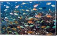 Sea of fish and coral, Raja Ampat, Papua, Indonesia Fine-Art Print
