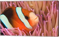 Anemonefish, Scuba Diving, Tukang Besi, Indonesia Fine-Art Print