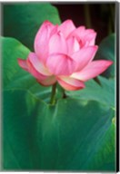 Ohga Lotus, Sankei-en Garden, Yokohama, Japan Fine-Art Print
