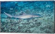 WhiteTip Reef Shark, Malaysia Fine-Art Print