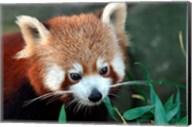 Red Panda, Taronga Zoo, Sydney, Australia Fine-Art Print