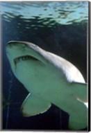 Shark at Manly Aquarium, Sydney, Australia Fine-Art Print