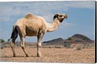 Camel near Stuart Highway, Outback, Northern Territory, Australia Fine-Art Print