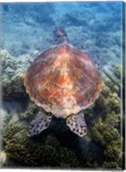 Green Turtle, Low Isles, Great Barrier Reef, North Queensland, Australia Fine-Art Print