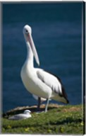 Australian Pelican bird, Blacksmiths, Australia Fine-Art Print