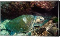 Loggerhead Turtle, Stradbroke Queensland, Australia Fine-Art Print