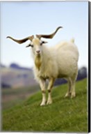 Goat, Taieri, near Dunedin, South Island, New Zealand Fine-Art Print