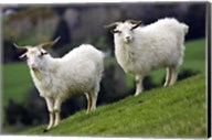 Pair of Goats, Taieri, South Island, New Zealand Fine-Art Print