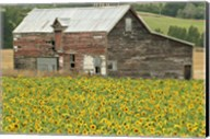 Sunflowers and Old Barn, near Oamaru, North Otago, South Island, New Zealand Fine-Art Print