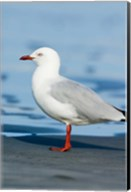 New Zealand, South Island, Karamea Redbilled Gull Fine-Art Print