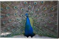 Bahamas, Nassau, Indian Peacock patterns Fine-Art Print