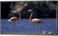 Pink Flamingos on Lake Goto Meer, Bonaire, Caribbean Fine-Art Print