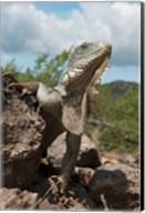 Green Iguana lizard, Slagbaai NP, Netherlands Antilles Fine-Art Print