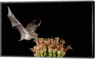 Mexican Long-tongued Bat, Agave Blossom, Arizona Fine-Art Print