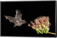 Mexican Long-tongued Bat Fine-Art Print