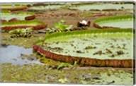 Brazil, Amazon, Valeria River, Boca da Valeria Giant Amazon lily pads Fine-Art Print