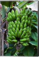 Cuba, Topes de Collantes banana fruit tree Fine-Art Print