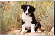 Border Collie puppy dog Fine-Art Print