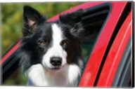 Purebred Border Collie dog, red truck window Fine-Art Print