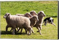 Purebred Border Collie dog turning sheep Fine-Art Print