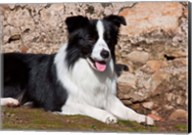 A Border Collie dog next to a rock wall Fine-Art Print
