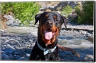 USA, California Rottweiler smiling Fine-Art Print