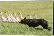 Purebred Border Collie dog herding ducks Fine-Art Print