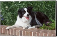 Purebred Border Collie dog lying on wall Fine-Art Print