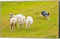 Colorado, Summit County, Border Collie dog Fine-Art Print