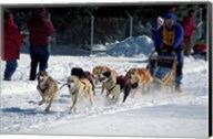 Sled Dog Team, New Hampshire, USA Fine-Art Print
