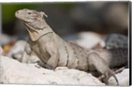 Cayman Islands, Caymans iguana, Lizard, rocky beach Fine-Art Print